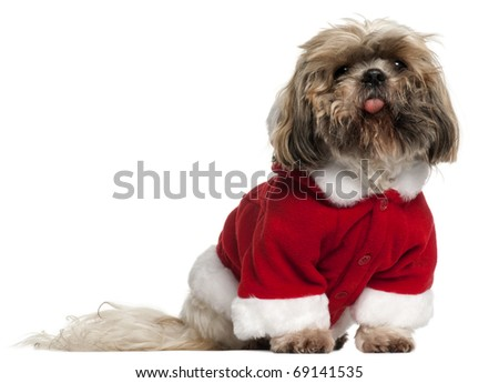 Old and dirty Shih Tzu in Santa outfit, 14 years old, sitting in front of white background - stock photo