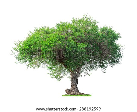 Old and Green big tree isolated on white background - stock photo