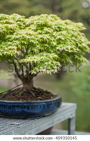 Old and small japanese maple miniature bonsai tree with green leaves - stock photo