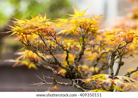 Old and small japanese maple miniature bonsai tree with yellow leaves - stock photo
