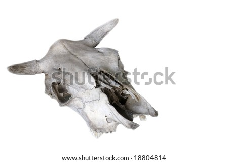 Old animal skull isolated - stock photo
