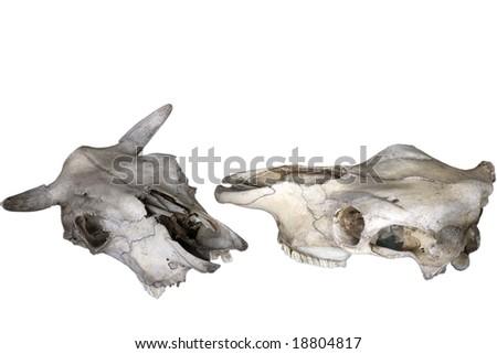 Old animal skull isolated - stock photo