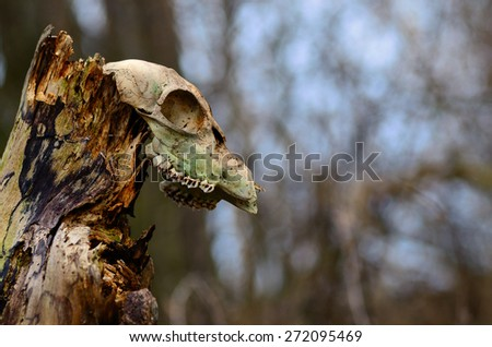 old animal skull on a tree trunk