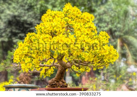 Old apricot tree in spring with blooming tree shape solid pyramid for Apricot bloom bright yellow flowers in the spring garden - stock photo