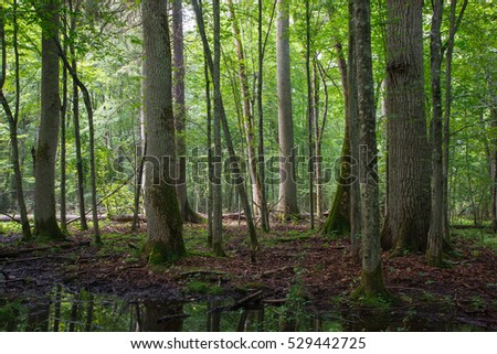 Old ash and oak trees in summer natural deciduous stand, Bialowieza Forest, Poland, Europe