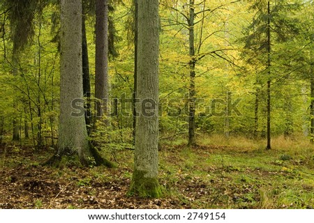 Old autumnal forest with oaks and spruces in foreground