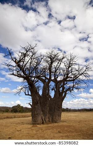 Old Baobab tree in a brown field, with blue skies and white clouds overhead