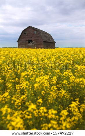 Old Barn in Canola Field - stock photo