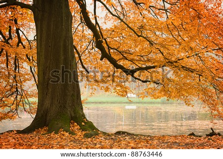 Old beech tree in autumnal park - stock photo