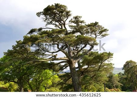 Old big pine tree in Ireland - stock photo