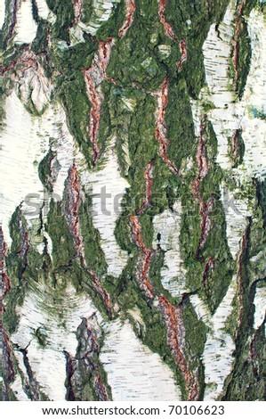 old birch wooden texture - stock photo