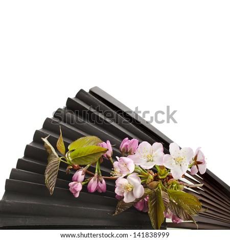 Old Black Decorative Japanese Paper Fan with Fresh Flower Sakura Isolated - stock photo