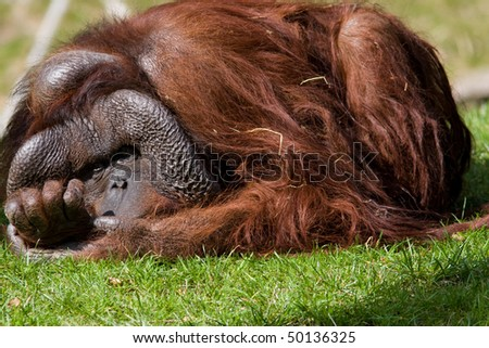 Old bored orangutan - stock photo