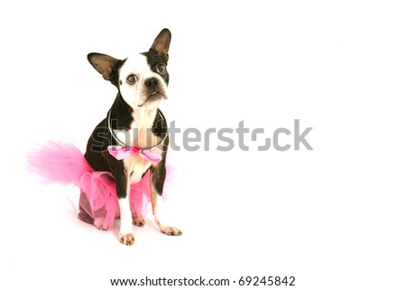 Old boston terrier with a pink tutu and a bow around the neck on a white background - stock photo