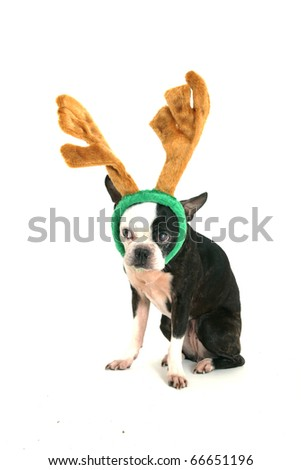 Old boston terrier with christmas horn on head looking on left on white background