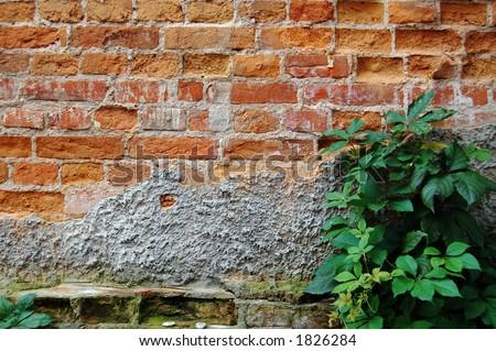 Old brick wall and wild grapes - stock photo