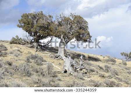 Old Bristlecone pine in sand Wash Basin, Colorado, USA