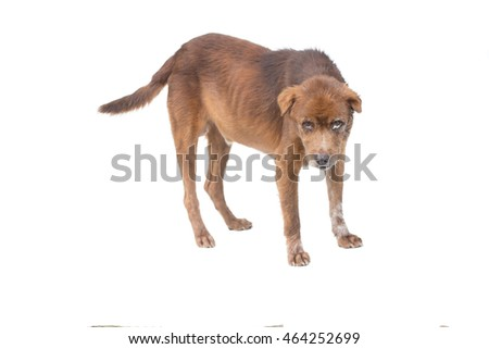 Old Brown dog with eye cysts, panting, 12 years old,  on white background
