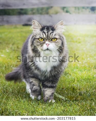 old Cat in autumn garden on grass - stock photo