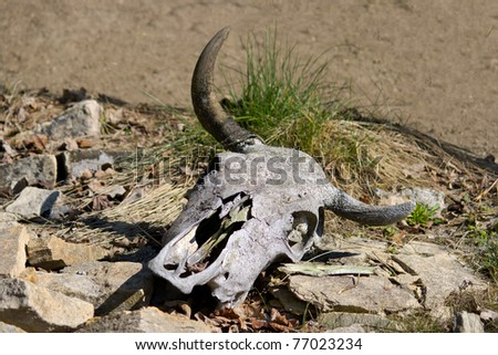 Old cattle skull in the desert - stock photo
