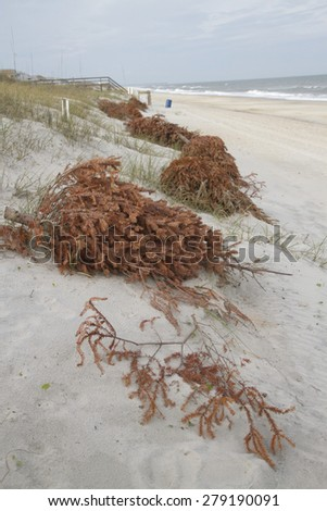 Old Christmas trees line the beach shoring up sand dunes and preventing erosion as the wind covers them with sand and turns them into dunes  - stock photo