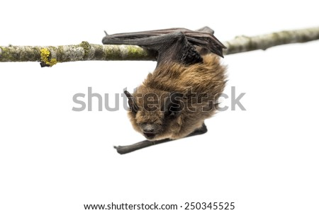 Old common bent-wing bat perched on a branch - stock photo