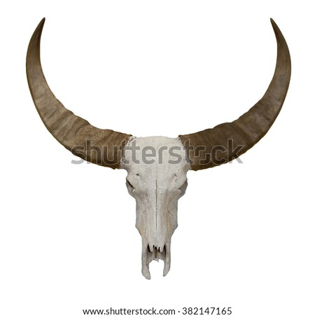 Old cow or bull skull with horns isolated on white with clipping path
