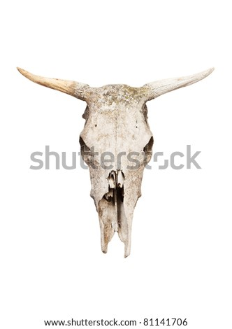 Old cow skull isolated on white background.