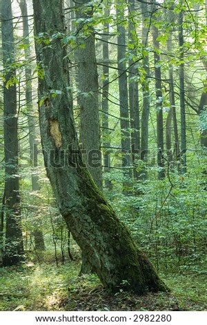 Old curved birch in forest,morning,summer,europe,poland,bialowieza forest - stock photo