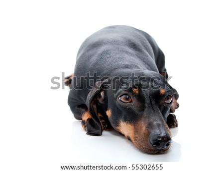 old dachshund  on white background - stock photo