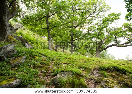 Old deciduous forest with blueberry plants at springtime - stock photo