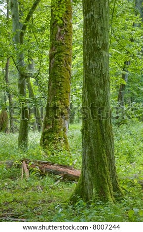 Old deciduous forest with mossy hornbeam tree in foreground - stock photo