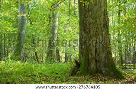 Old deciduous stand full in light end of summer,Bialowieza Forest, Poland,Europe - stock photo