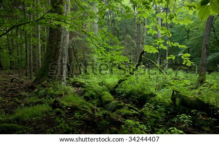 Old deciduous stand of Bialowieza Forest Landscape Reserve just before sunset in summer - stock photo