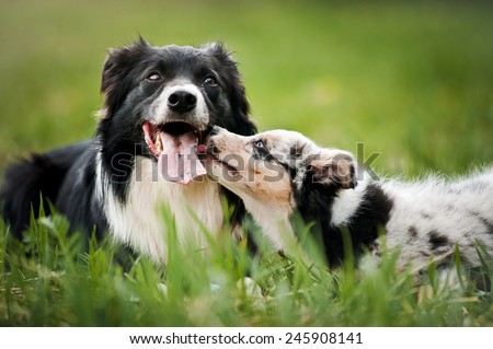 Old dog border collie and puppy playing in the summer - stock photo