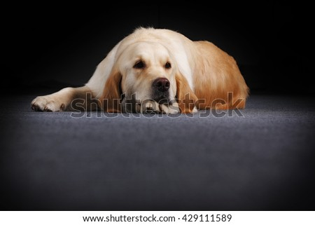 Old dog Golden Retriever lying with my head on paws and looks sad - stock photo