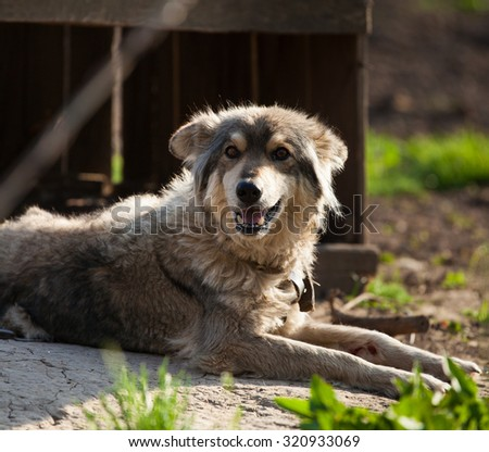 Old dog lying on the ground, against a background of an old wooden dog house - stock photo