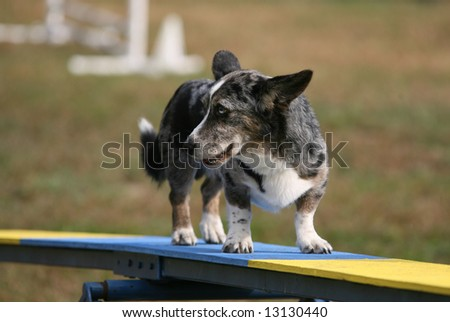 Old Dog on Agility Ramp with Indesicive Look on his Face - stock photo
