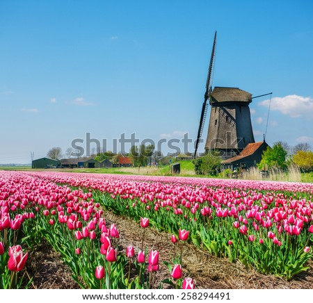 Old Dutch windmill and tulip field in the foreground, on a spring sunny day, in North Holland province - stock photo