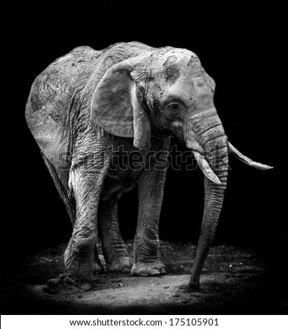 Old Elephant - stock photo