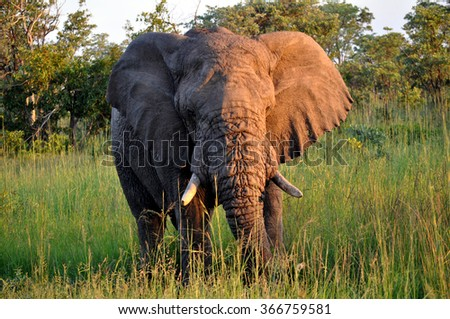 Old Elephant (close) at Kruger National Park, South Africa - stock photo