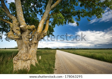 Old elm at gravel road - stock photo