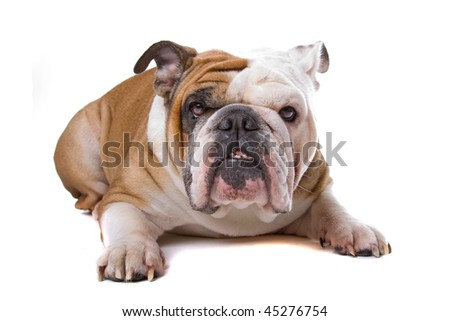 old English bulldog isolated on a white background - stock photo