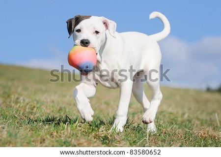 old english bulldog whelp 3 months original race Alte englische Bulldogge Bullenbeisser alte englische Bulldogge   - stock photo