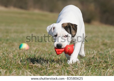old english bulldog whelp 3 months playing with cat original race Alte englische Bulldogge Bullenbeisser alte englische Bulldogge - stock photo