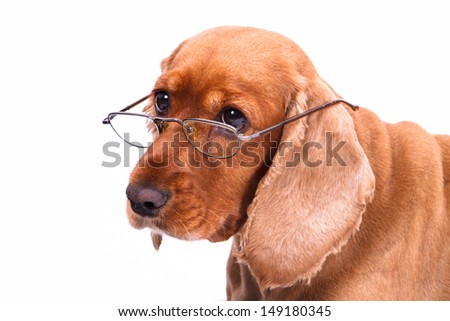 Old English cocker spaniel dog looking behind glasses, isolated on white background. - stock photo