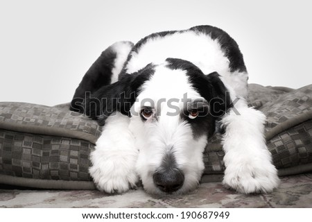 Old English Sheepdog lying on his bed... - stock photo