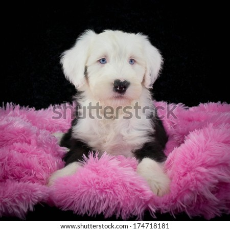 Old English Sheepdog puppy on a pink blanket. With a black background.