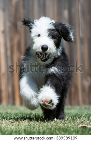 Old English Sheepdog puppy running with toy ball