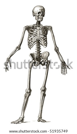 Old engraving illustration of human skeleton front view lots of details